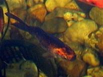 Fische shubunkin goldfisch koi schleierschw nze for Goldfisch haltung im teich