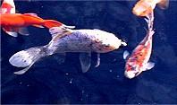 Fische shubunkin goldfisch koi schleierschw nze for Shubunkin teich